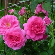 Розы Морден Центенниал