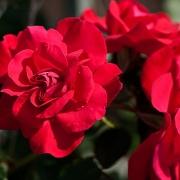 Розы Грусс ан Хайделберг