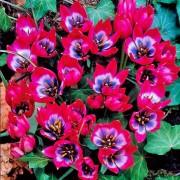 Тюльпаны Литтл Бьюти