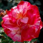 Розы Мели-Мело