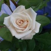 Розы Шампанье