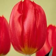 Тюльпаны Джингл Белл
