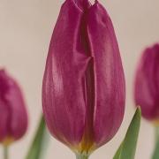 Тюльпаны Ван дер Нир