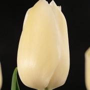Тюльпаны Хольфстра Юниверсити