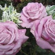 Розы Лугдунум