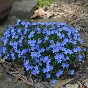 Lithodora Greys Vard