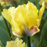 Тюльпаны Крим Лизард