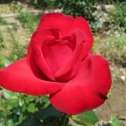Розы Лиебесзаубер