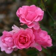 Розы Фрау Астрид Спат