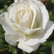 Розы Уайт Дрим