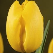Тюльпаны Гелиос