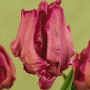 Тюльпаны Каприс
