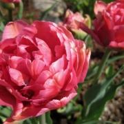 Тюльпаны Шато