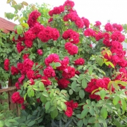 Розы Фламментанц