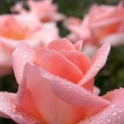 Розы Саммер Леди