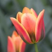 Тюльпаны Триколор Бьюти
