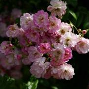 Розы Блаш Рамблер