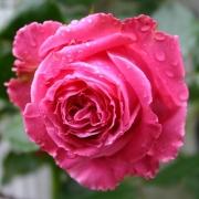 Розы Огюст Ренуар