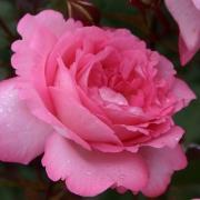 Розы Элиза