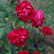Розы Квадра