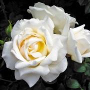 Розы Каролине Викториа