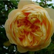 Розы Чарльз Дарвин