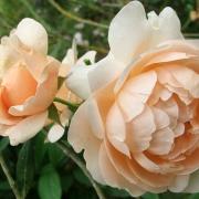 Розы Эмбридж Роуз