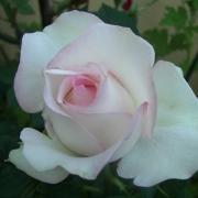 Розы Мунстоун