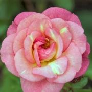 Розы Грин Даймонд