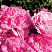 Розы Луи Жульет