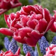 Тюльпаны Виллемсорд