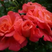 Розы Даниэль Гелин