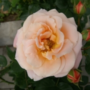 Розы Калмар