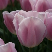 Тюльпаны Синаеда Амор