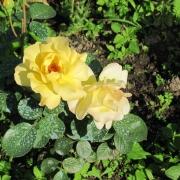 Розы Артур Белл