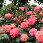 Розы Куин оф Хартс