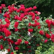 Розы Байкал