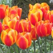 Тюльпаны Флэйр