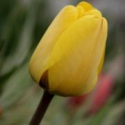 Тюльпаны Роки Йеллоу