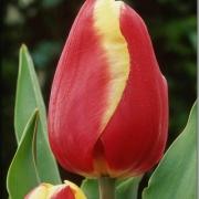 Тюльпаны Жан Сигнетт