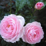 Розы Скептер де Айсл