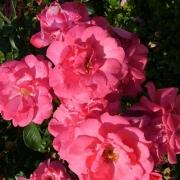 Розы Ля Амурекс де Пинет