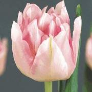 Тюльпаны Роял Чик
