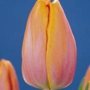 Тюльпаны Перлесс Бьюти