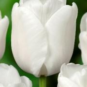 Тюльпаны Роелина