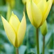 Тюльпаны Хонки Тонк