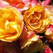 Розы Цыгане