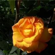 Розы Голдмари 82
