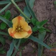 Тюльпаны Брайт Джем