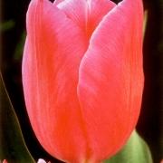 Тюльпаны Лили Джамбо